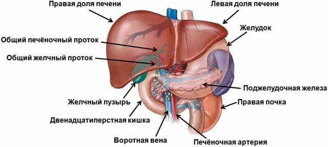 Особенности диффузных изменений печени и поджелудочной железы